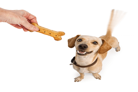 A dog receiving a treat reward for good behaviour